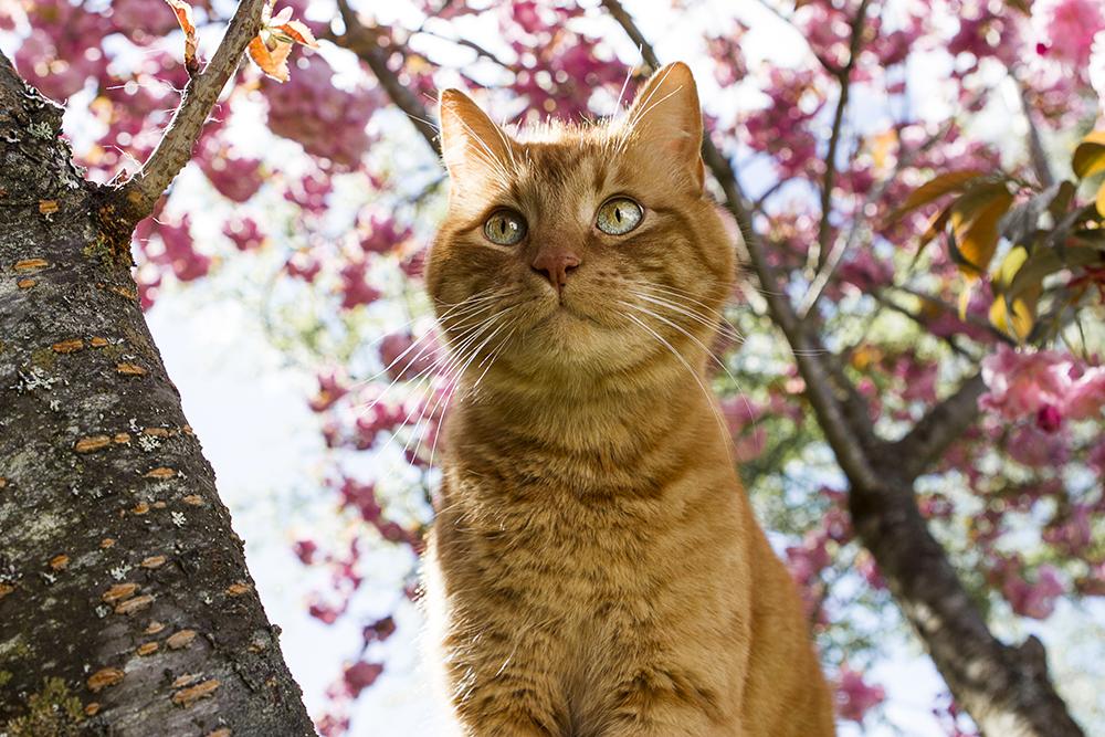 Parksville Pet Photographer | Parksville Family Photographer | Cherry Blossoms Parksville