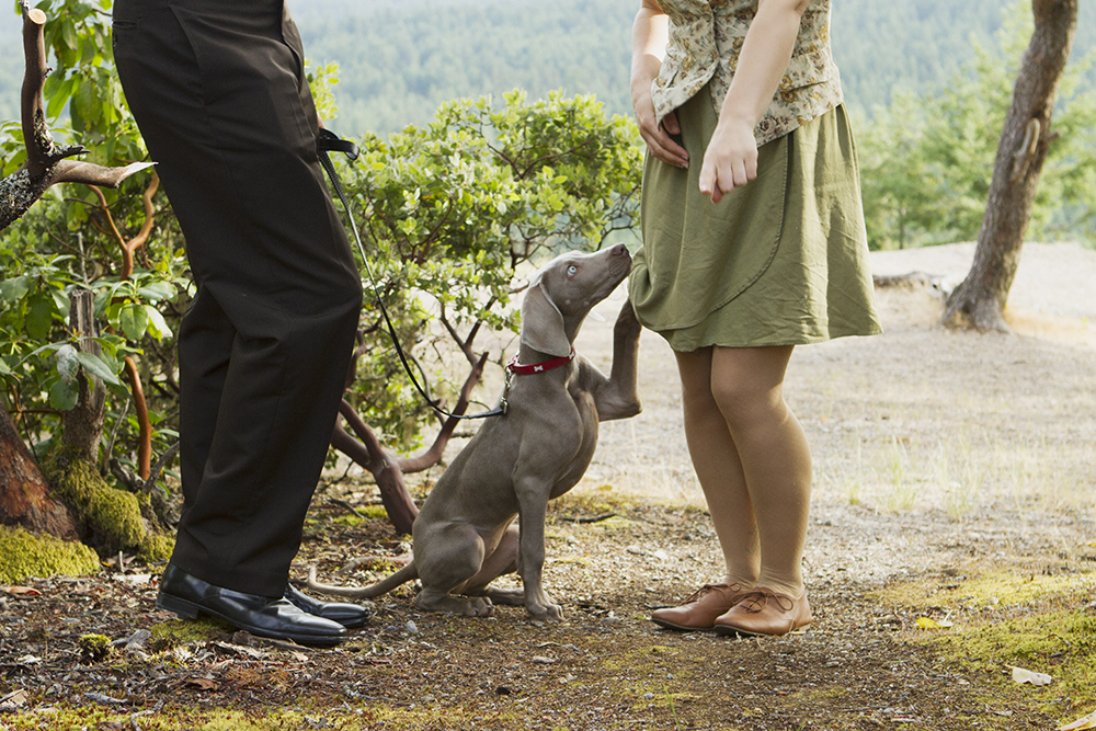 Parksville Wedding Photographer | Little Mountain | Weimaraner Portrait